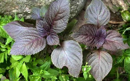 紫苏叶的挑选方法