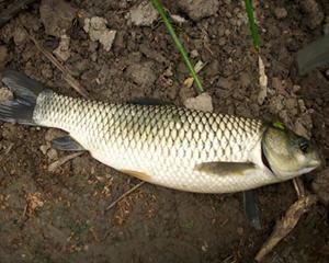 草鱼的营养价值和功效