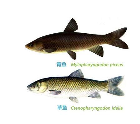 青鱼和草鱼的区别图