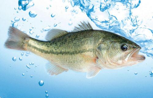 鲈鱼是海鱼还是淡水鱼