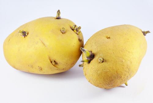 马铃薯发芽的危害和处理方法