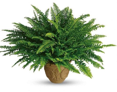 波斯顿肾蕨_家里只要有种一盆这些植物能吸收掉80%有害气体-聚餐网