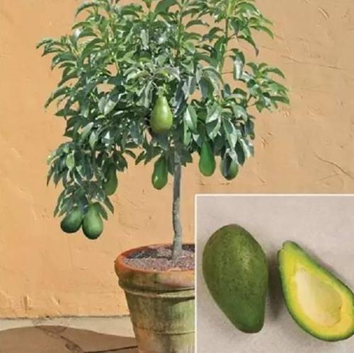 怎样把鳄梨种子养成牛油果树?而且还能结果?