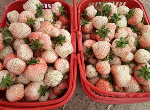 白草莓价格多少钱一斤?白草莓在哪可以买到