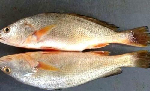 黄花鱼和黄鱼的区别及价格