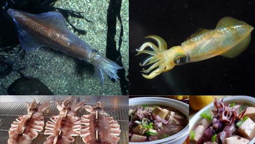 笔管鱼是鱿鱼吗?笔管鱼和鱿鱼的区别在哪