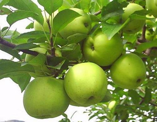 王林苹果什么时候成熟?