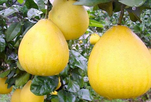 柚子挑尖的还是圆的好?教你如何辨别柚子是否甜